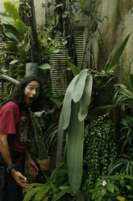 Image Missing: Ernesto Sandoval, Director of the UC Davis Botanical Garden at the Kyoto Botanical Garden's Botanical Conservatory marvels at the very long leaves of the Bulbophyllum orchid.