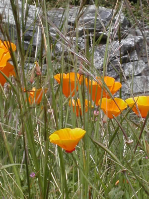Image Missing: Eschscholzia californica