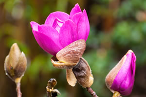 Image Missing: Magnolia campbellii. Photo by Brian Fitzgerald